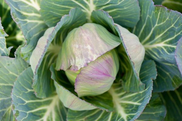 deadon_cabbage(katiepark)_web
