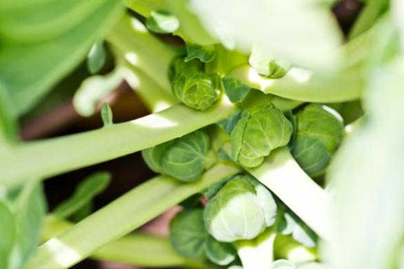 green_brussel_sprouts(katiepark)_web