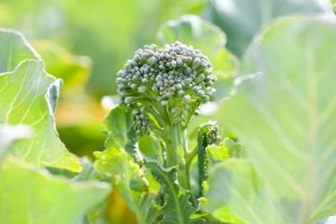 green_magic_broccoli(katiepark)_web