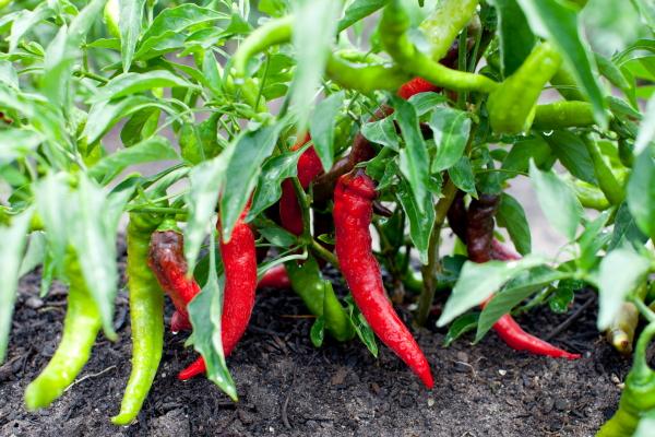 jimmy_nardellos_sweet_pepper(katiepark)_web