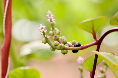 malabar_spinach(katiepark)_web
