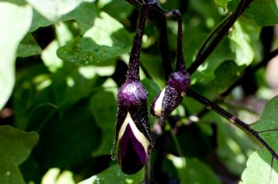millonaire_eggplant(katiepark)_web