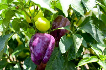 purple_beauty_bell_pepper(katiepark)1_web