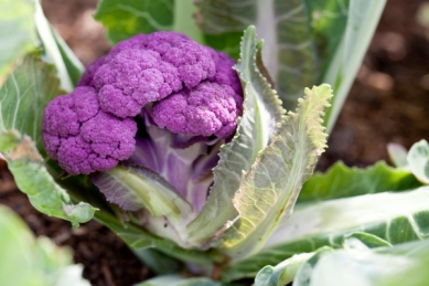 purple_graffiti_F1_cauliflower(katiepark)_web