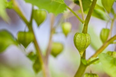 tomatillo(katiepark)_web