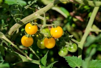 tomatoes1(katiepark)_web